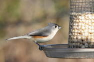Titmouse on feeder
